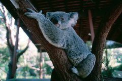 Koala du zoo de Sydney. (© Henri Conodul - Iconotec)