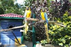 Perroquets en libertés au Jardin Botanique. (© Gilles MOREL)