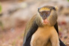 Boabeng - Fiema Monkey Sanctuary. (© Anton_Ivanov - Shutterstock.com)