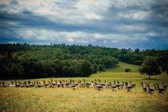 Oies du Périgord (© Malhrovitz- iStockphoto)