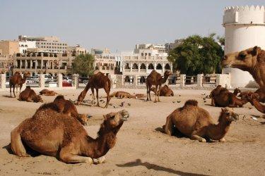 L'espace des chameaux à Doha. (© iStockphoto.com/Roll6)