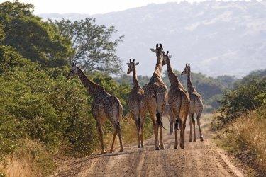 Pays zoulou, girafes (© Tom Pepeira - Iconotec)