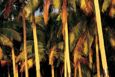 Palmiers dans le soleil couchant (© Itzak Newmann - Iconotec)