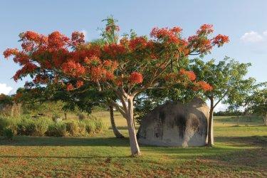 Flamboyan de Vieques. (© jrroman - iStockphoto.com)