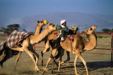 Oman : Entraînement pour les courses de dromadaires.
