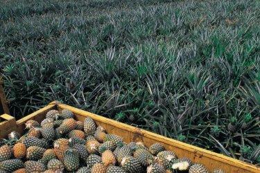 Récolte d'ananas. (© Tom Pepeira - Iconotec)