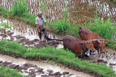 Agriculteur menant ses buffles dans les rizières. (© Eloïse BOLLACK)