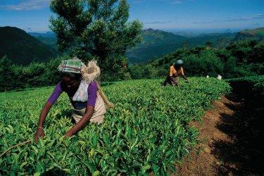 Cueillette du thé (© Cali - Iconotec)