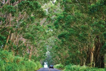 Tree tunnels. (© Hawaii Tourism Authority (HTA) / Tor Johnson)