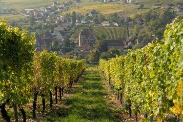 Les vignes de Soultzmatt. (© hattiney - Fotolia)