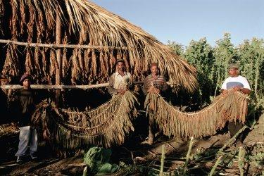 Travail des feuilles de tabac. (© Author's Image)