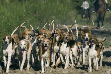 Meute de chiens (© CHG - Fotolia)