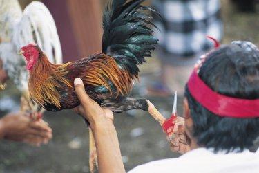 Les combats de coqs ont une tradition fort ancienne. (© Yukiko Yamanote - Iconotec)