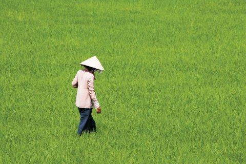 Rizière dans la région de Tinh Biên. (© Author's Image)