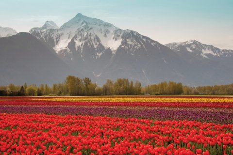 Tulipes devant le Cheam Peak, à Chilliwack. (© KarenMassier - iStockphoto)