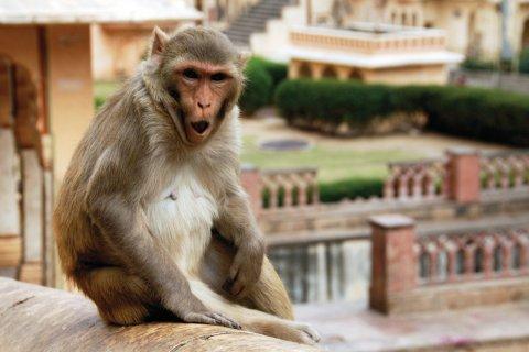 Singe du temple de Galta (Monkey Temple). (© Nicolas HONOREZ)