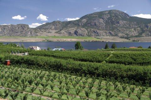 Arbres fruitiers dans la vallée de l'Okanagan. (© Stéphan SZEREMETA)