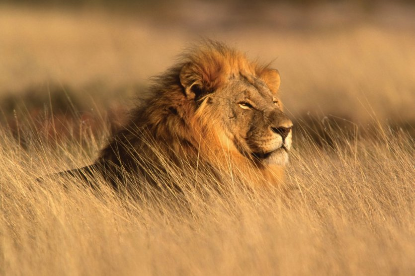 Le roi de la jungle se repose dans la savane du Parc National d'Etosha.