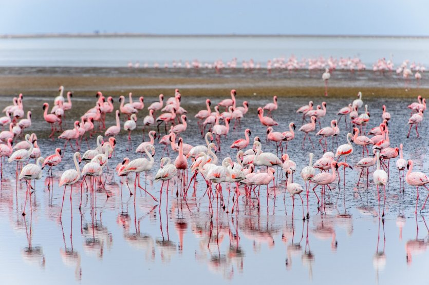 Colonie de flamants roses à Walvis Bay.