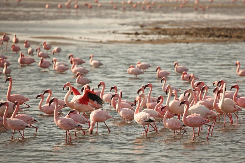 Flamants roses à Walvis Bay.
