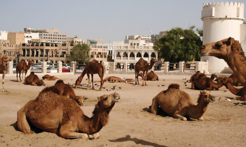 L'espace des chameaux à Doha.