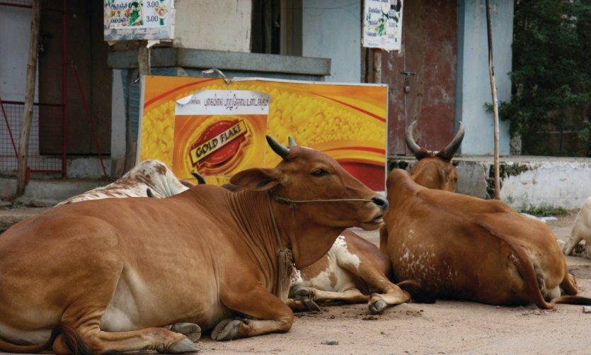 Les vaches sont les maîtresses des centres-villes.