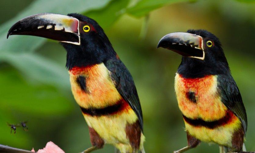 Toucans de la forêt tropicale bélizienne.