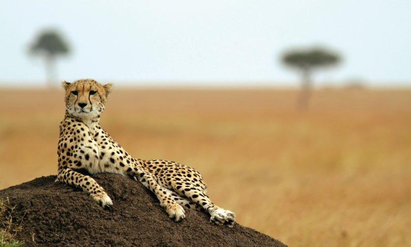 Jeune cheetah au repos dans la réserve naturelle de Marala.