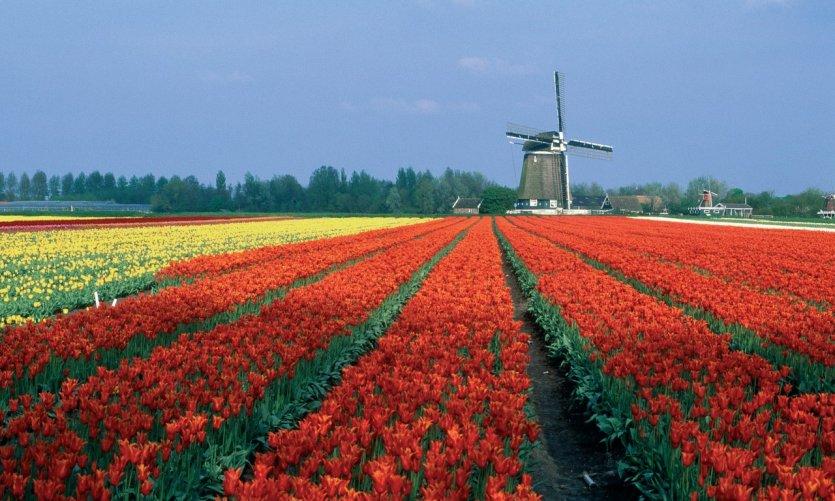 Champ de tulipes.