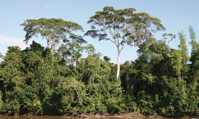 Végétation amazonienne.