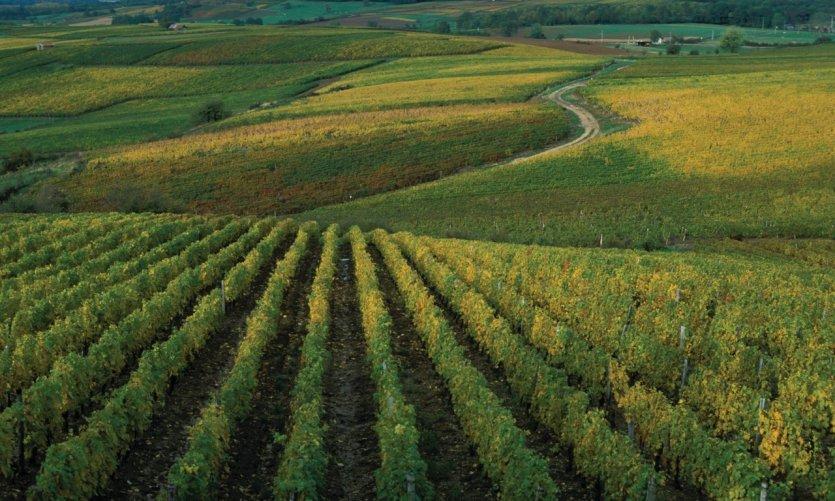 Vignoble près d'Arbois
