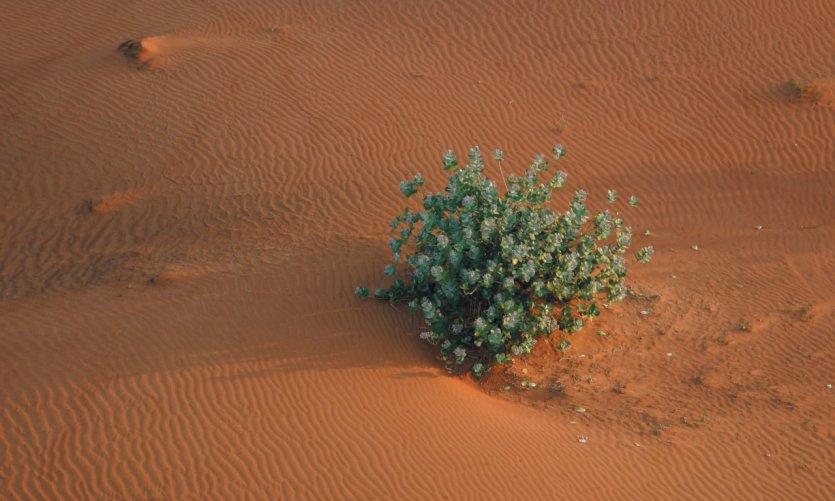 Arbuste dans le désert