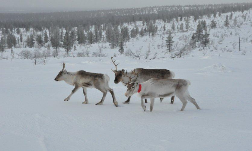 Famille de rennes à Saariselkä