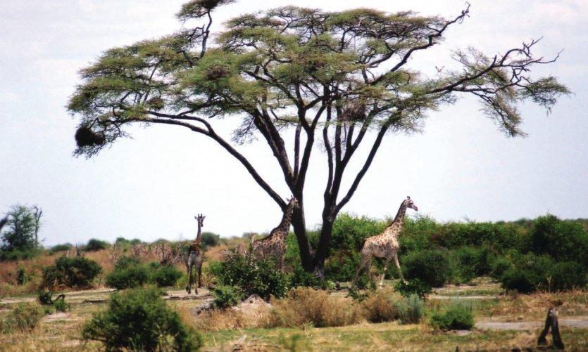 Girafes sous un acacia parasol.