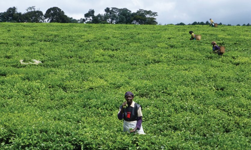<p>Tea harvest.</p>