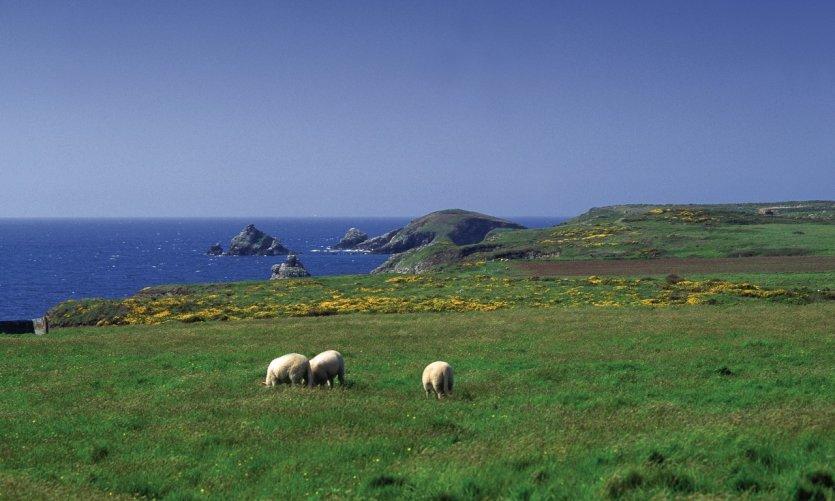Moutons sur l'île d'Ouessant