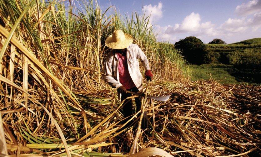 Récolte de la canne à sucre.