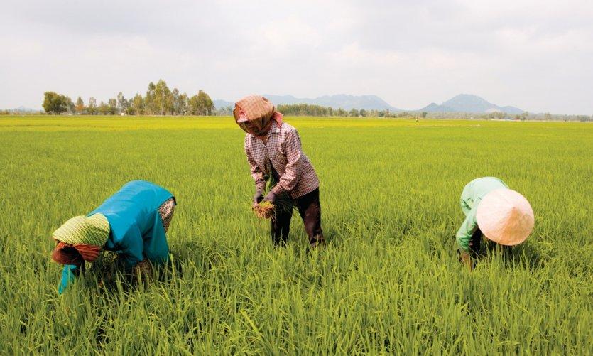 Rizière de la région de Tinh Biên.