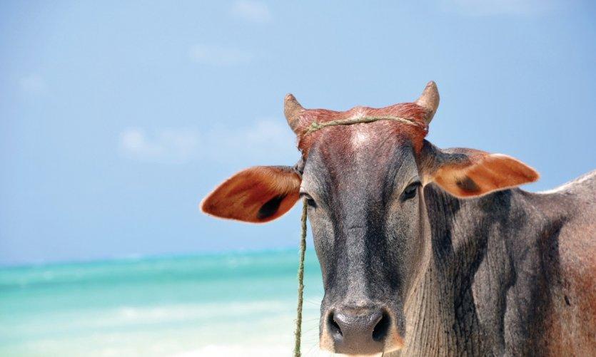 Vache sur la plage de Nungwy.