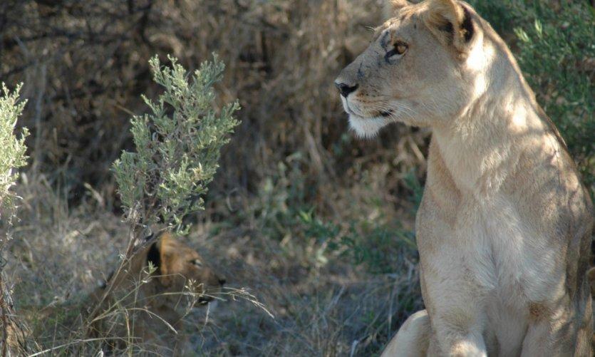 Lionne et lionceaux.