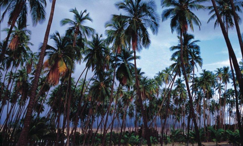 Kapuaiwa Coconut Grove.