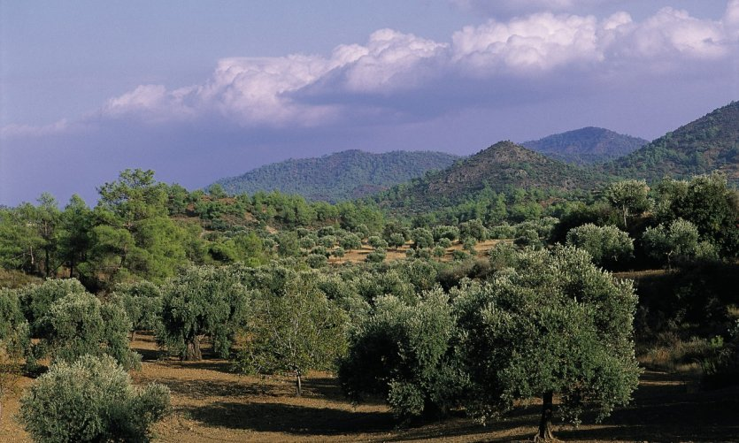 Oliveraie dans les environs de Larnaka.