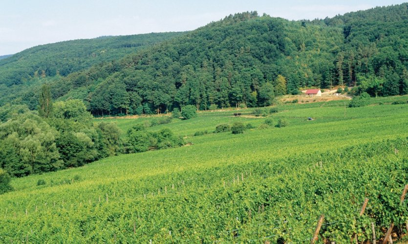 Vignoble d'Itterswiller