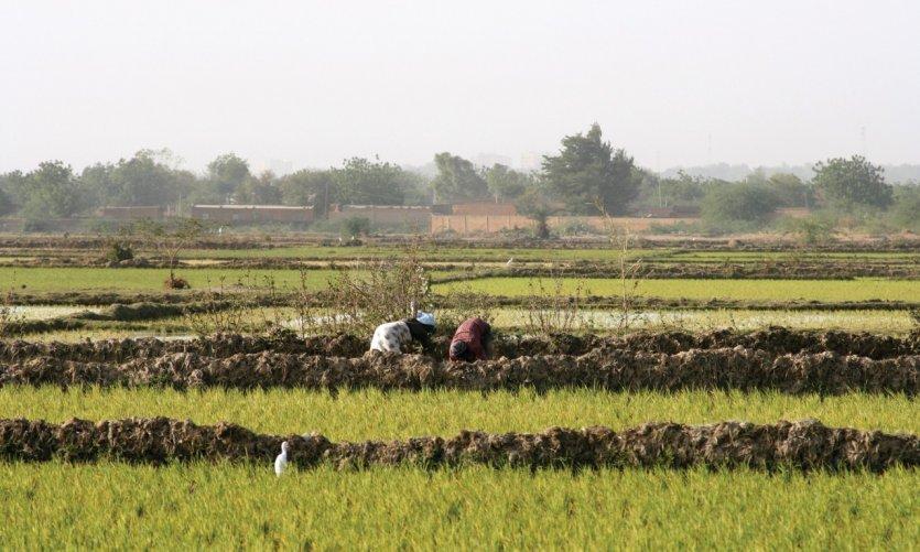 Rizières à Niamey.