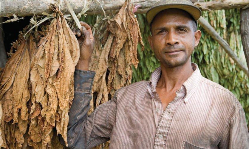 Séchage des feuilles dans une plantation de tabac dans la vallée du Cibao.