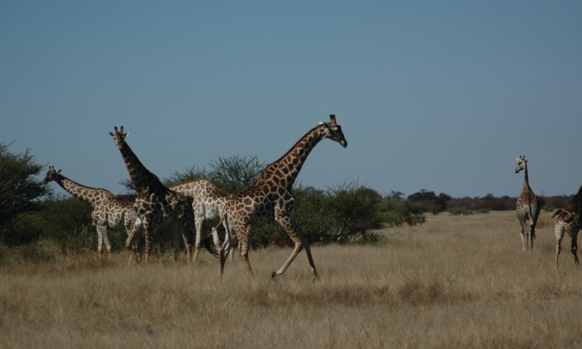 Giraffes in Nxai Pan National Park.