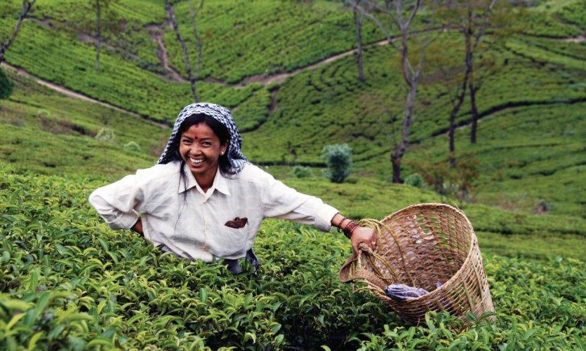 Plantation de thé à Darjeeling.