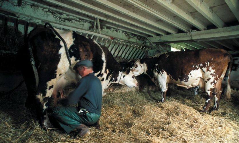 Vaches dans une étable - Le Bec-Hellouin