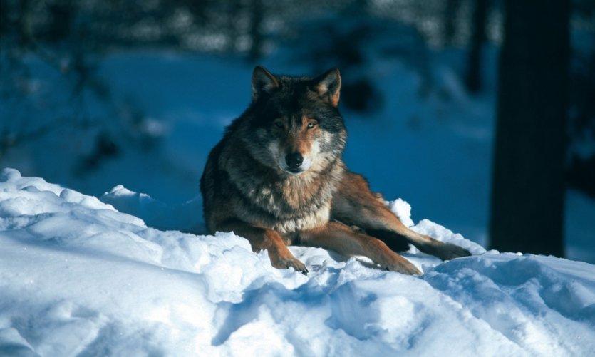 Loup couché dans la neige.