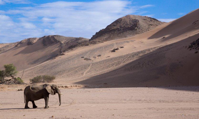 Eléphant du désert, Twyfelfontein.